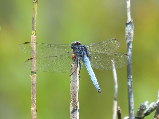 The Kebun: Blue Dragonfly?