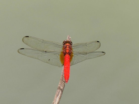 The Kebun: Red Drgonfly?