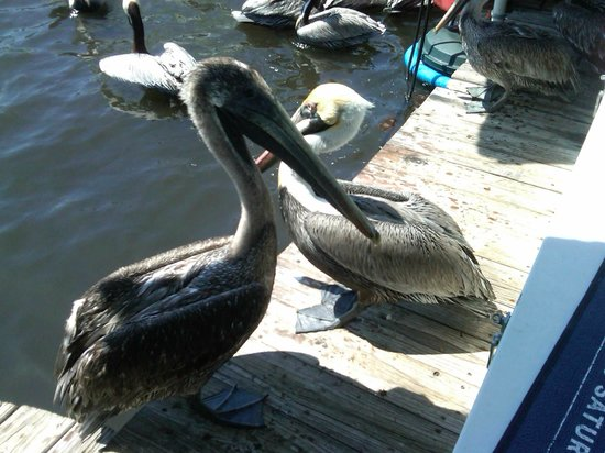 Two Georges Waterfront Grille: Hey, Pelicans need to get lunch too.  At the dock by Two Georges!