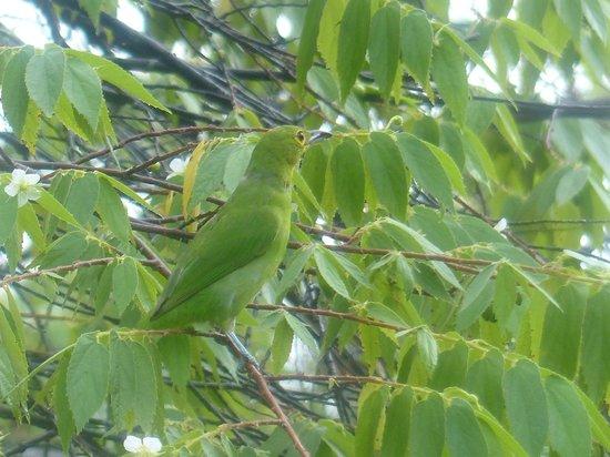 The Kebun: A Green Bird?