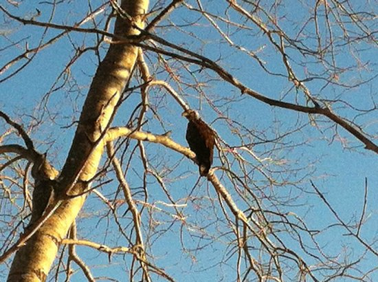 Cabot Shores Wilderness Resort: Bald Eagle