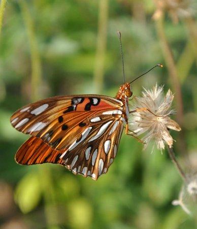 Melia Cayo Santa Maria : Butterfly