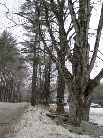 Parker's Maple Barn: tapped maples lining the road