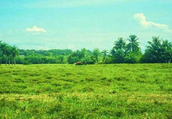 Rancho Tropical: Cattle pasture