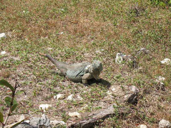Blue Iguana Recovery Program Safari Tour: Adult Blue Iguana
