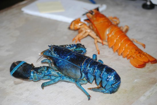 Ryer Lobsters: Blue and Albino Lobsters
