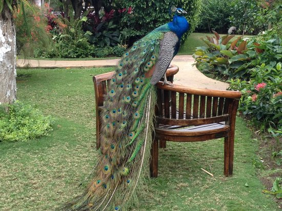 Sandals Royal Plantation: Beautiful peacock at the RP