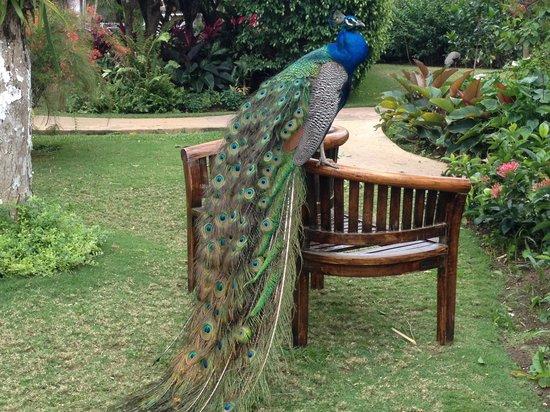 ساندلز رويال بلانتيشن أول إنكلوسيف: Beautiful peacock at the RP