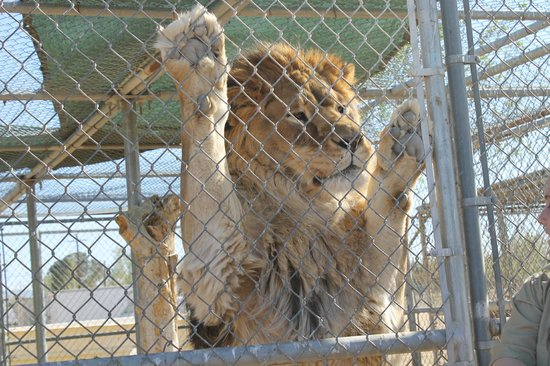Hesperia Zoo: the king