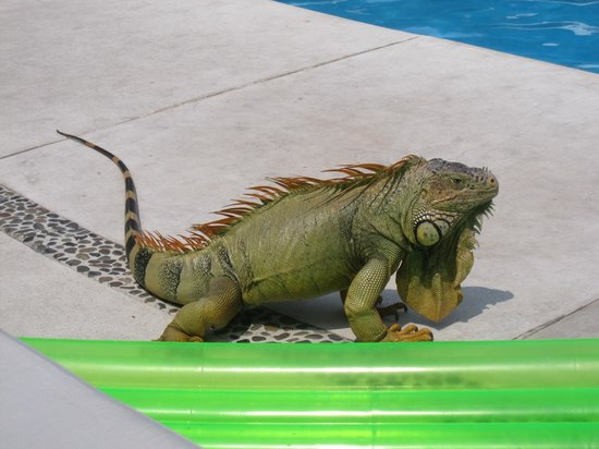 Occidental Grand Cozumel: the iguana