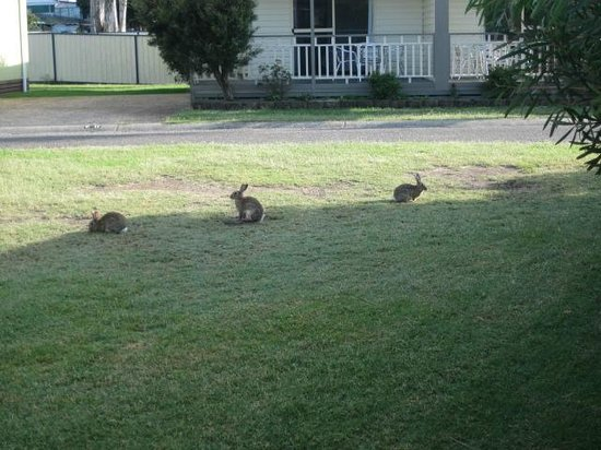 BIG4 Karuah Jetty Holiday Park: Bunnies in the Park!