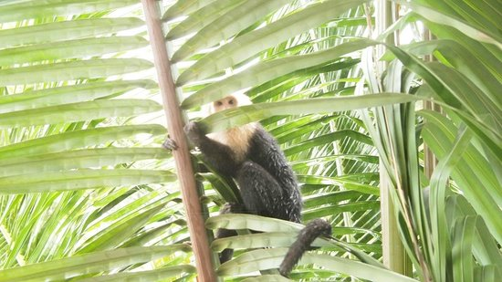 Arenas del Mar Beachfront & Rainforest Resort: white-face monkey outside our patio