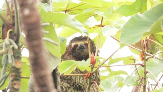 Arenas del Mar Beachfront & Rainforest Resort: sloth outside our front door
