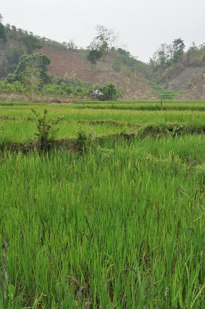 Highland Eco Tours: Rice field