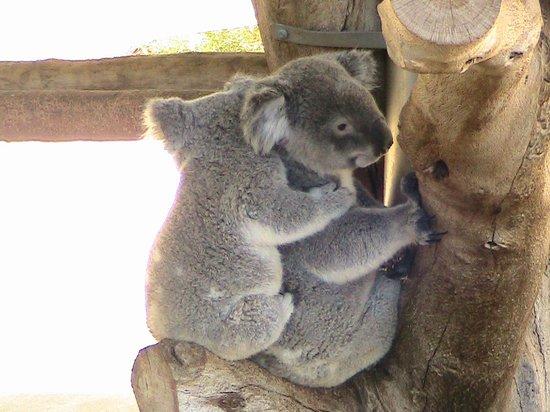 koalas picture of cohunu koala park byford tripadvisor. Black Bedroom Furniture Sets. Home Design Ideas