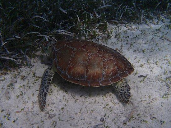 White Sands Dive Shop: Turtle