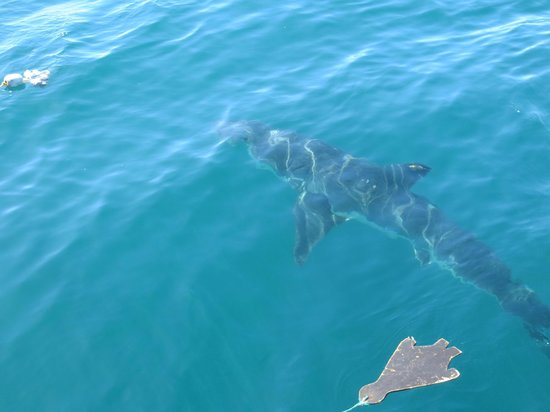 Marine Dynamics: Great white shark