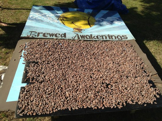 Brewed Awakenings : Drying out the fresh cocoa beans!