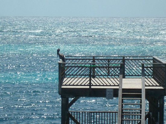 Divi Carina Bay All Inclusive Beach Resort: Pelicans on the pier outside our window