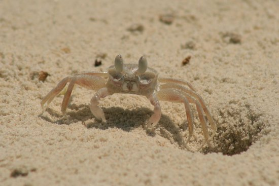 Paradee Resort: The crabs on the beach were very entertaining
