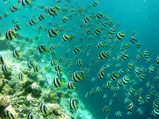 Kurumba Maldives: Banner-fish on the house-reef