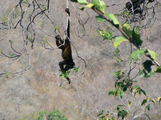 Orquidea del Sur: Visit from howler monkeys