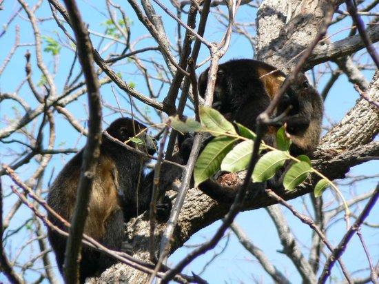 Orquidea del Sur: Visit from howler monkeys