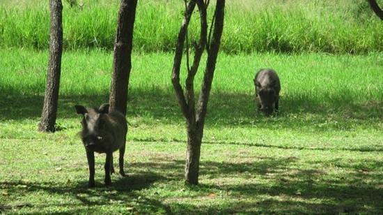 Timbavati Safari Lodge: wrattenzwijnen voor de deur