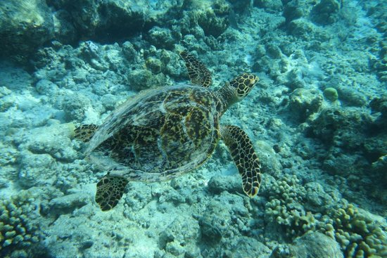 Soneva Fushi : Turtle encounter