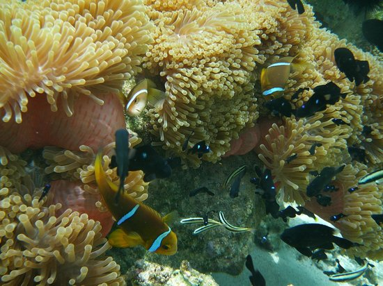 Villas Bougainville : Poissons clowns