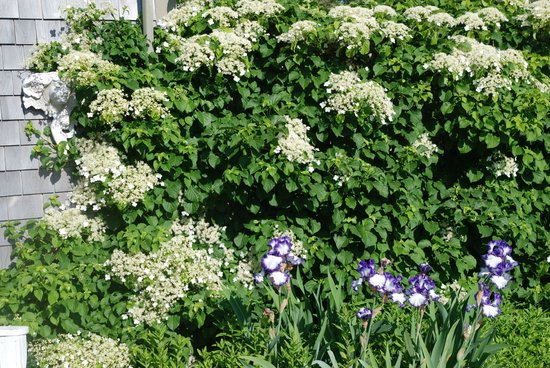 The Ruddy Turnstone: Climbing hydrangea outside of The Cottage Room.