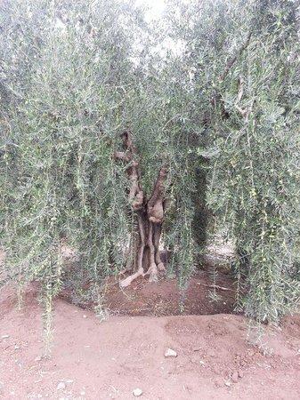 Olivicola Maguay: olivos centenarios