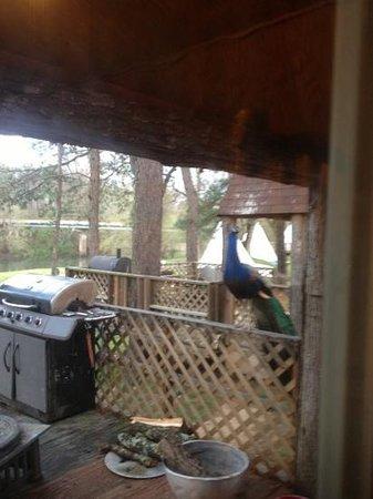 Diamond John's Riverside Retreat: peacock saying hello- loud when they call