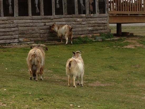 Diamond John's Riverside Retreat: mountain goats in front of owners house