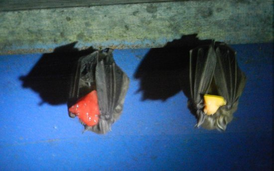 The Bat Jungle: lunchtime for the fruitbats