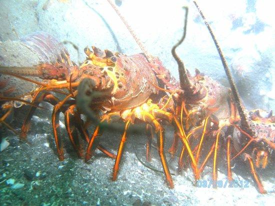 La Jolla Dive: Lobster