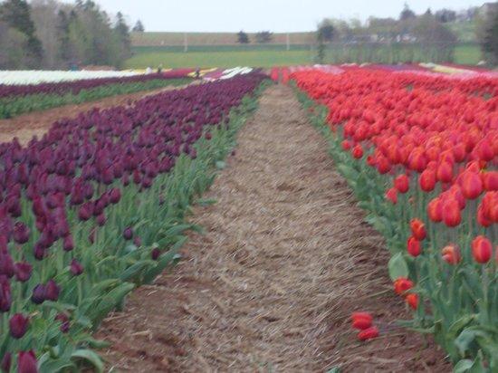 Rusty Rover Tours: Tiptoe through the tulips
