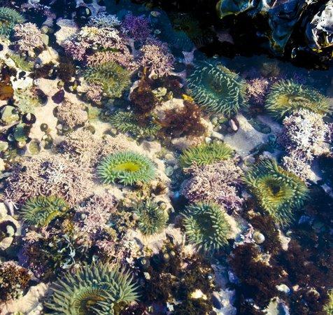 Montana de Oro State Park: Sea Anemones at Corallina Cove