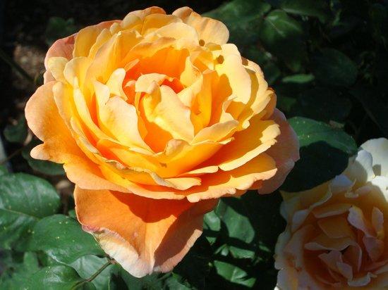 Rose Garden at Mesa Community College: Bronze Star