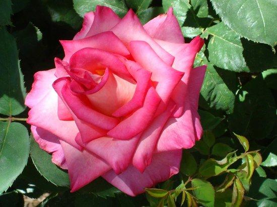 Rose Garden at Mesa Community College: Rose