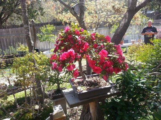 Robin S Nest Bed And Breakfast Beautiful Bonsai Tree