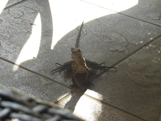 Hotel Pumilio: Friendly iguana at breakfast