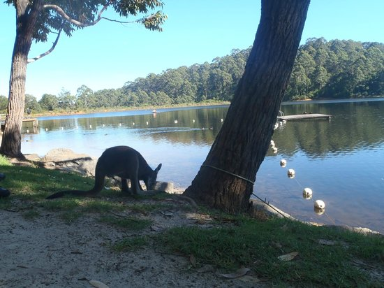 Karri Valley Resort: the resident kangaroo