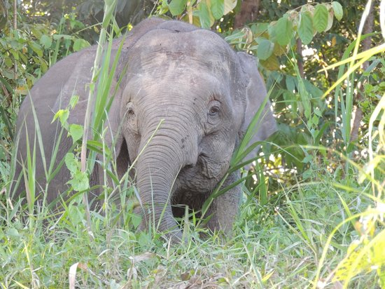 Sukau Greenview Bed & Breakfast: 15' away from Pygmy Elephants in the wild.