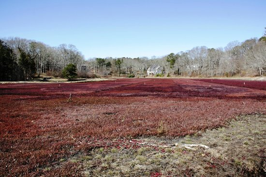 Carriage House Inn: Cranberry bog in Harwich