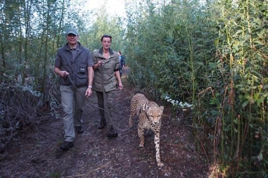 Tenikwa Wildlife Awareness Centre: Spaziergang mit Geparden