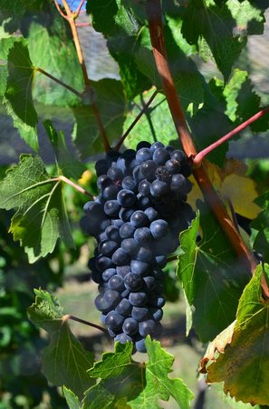 Appellation Central Wine Tours: Grapes!