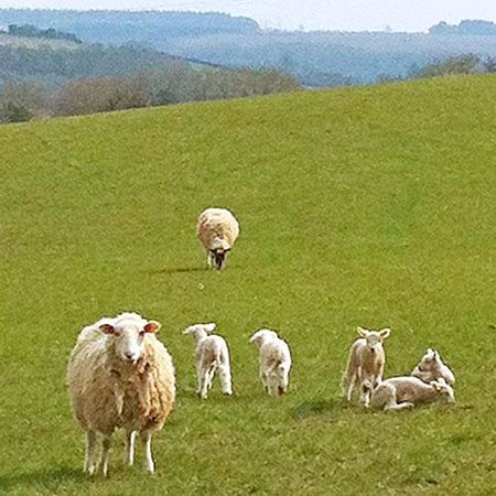 Marshwood Farm B&B, Shepherds Hut and The Cottage: Sheep and lambs in the nearby fields