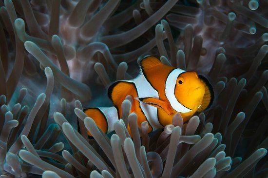 Phuket Snorkeling by  Offspray Leisure: clownfish