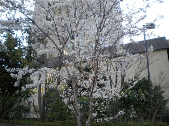 RIHGA Royal Hotel Osaka: cherry blossom in front of Rihga Royal